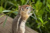Cute little Chipmunk — Stock Photo