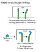 Experiments demonstrating phototropism in plants — Stock Vector