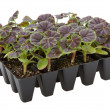 Gernaium plants in seed tray ready for potting up — Stock Photo