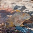 Galapagos Land Iguanas — Stock Photo