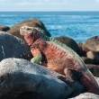 Stock Photo: Galapagos Marine Iguanbasking in sun.