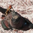 Galapagos marine iguana wiht a lava lizard. — Stock Photo