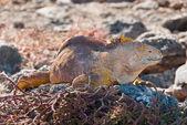 Galapagos iguanes des terres — Photo
