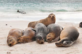 Basking Galapagos Sea Lions sleeping on a beach — Stock Photo