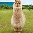 Single alpaca showing its thick fleece — Stock Photo