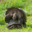 Stock Photo: Mating Giant Tortoises
