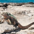 Stock Photo: Galapagos marine iguanin sunshine