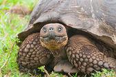 Galapagos Giant Tortoise in Closeup — Stock Photo
