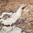 Stock Photo: Booby chick stretching its wings.