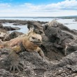 Stock Photo: Galapagos marine iguanon rocky outcrop