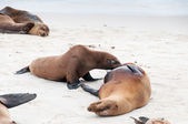 Sealion pup suckling in the Galapagos. — Stock Photo