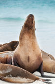 Galapagos sealion raising its head. — Stock Photo