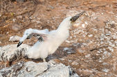 Booby chick stretching its wings. — Stock Photo