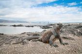 Galapagos marine iguana alert on the beach — Foto Stock
