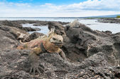 Galapagos marine iguana on a rocky outcrop — Stock Photo