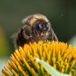 Stock Photo: Macro shot of bee on cone flower