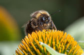 Macro shot of bee on cone flower — Stock Photo