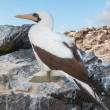 Nazca booby perched on a rock — Stock Photo