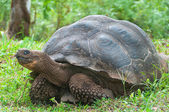 Giant Galapagos tortoise. — Stock Photo
