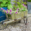 Stock Photo: Trailing surfinpetunias in wooden wheelbarrow.