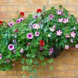 Stockfoto: Summer bedding flowers in a wall mounted basket.