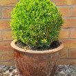 Box tree clipped as sphere — Stock Photo #36441359