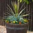 Oak barrel planted with cordyline shrub — Stock Photo