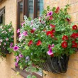Foto Stock: Summer bedding flowers in a wall mounted basket.