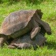 Pair of Galapagos giant tortoises mating — Stock Photo