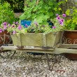 Stock Photo: Wooden wheelbarrow containing trailing surfinpetuniplants