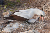 Galapagos Nazca booby feeding chick — Stock Photo
