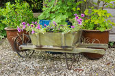 Wooden wheelbarrow containing trailing surfina petunia plants — Stock Photo