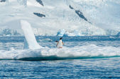 Gentoo penguins on iceberg Antarctica — Fotografia Stock