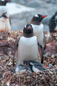 Adult Gentoo and chicks Antarctica — Stock Photo