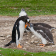 Adult Gentoo penguin with chick — Stock Photo #42410193
