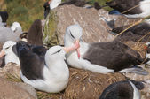 Adult black browed albatross courtship display — Stock Photo