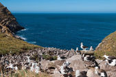 Sea view of albatross breeding colony — Stock Photo