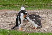 Adult Gentoo penguin with chick — Stock Photo
