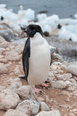 Adult Adele penguin standing on beach — Zdjęcie stockowe
