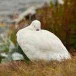 Falkland Island Kelp Goose white male — Stock Photo