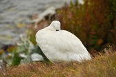 Falkland Island Kelp Goose white male — Stock Photo
