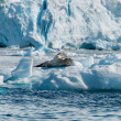 Leopard Seal resting on ice floe Antarctica — Stock Photo #43496781