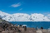 Antarctica gentoo penguins — Stock Photo