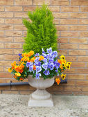 Garden container with winter and spring flowering pansies and evergreen shrub. — Stock Photo