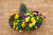 Winter and spring flowering hanging basket with trailing ivy pan — Stock Photo