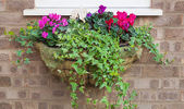 Winter and spring flowering hanging basket with trailing ivy cyc — Stock Photo