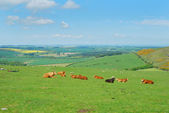 Northumberland cattle and landscape near Belford, Wooler — Stock Photo