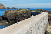 Seagulls on pier wall and rocks at St. Abbs, Berwickshire — Stock Photo