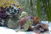 Two seahorses — Stock Photo