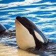 Orcas playing in a pool - Stock Photo